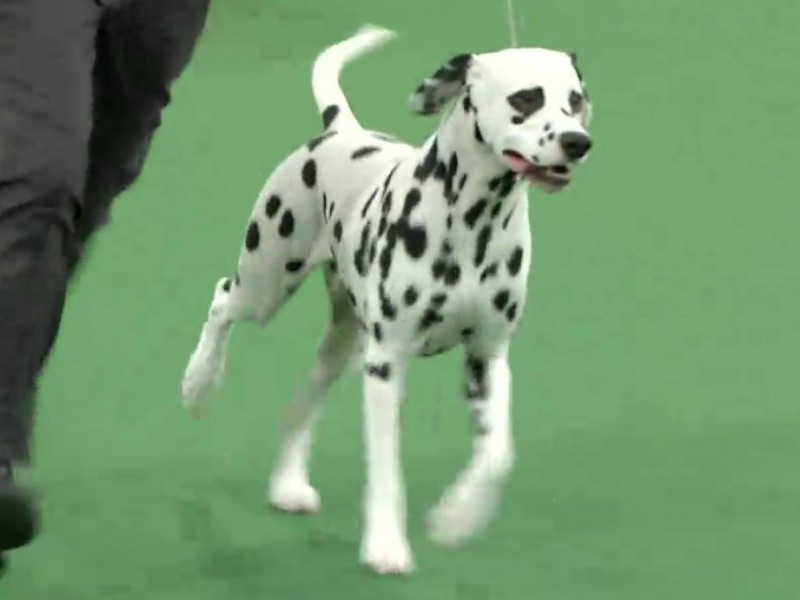 The Laguna Beach Dalmatian That Conquered New York City
