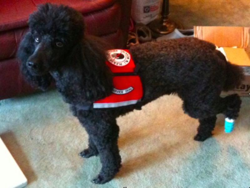 rescue poodle rescued   family  patch