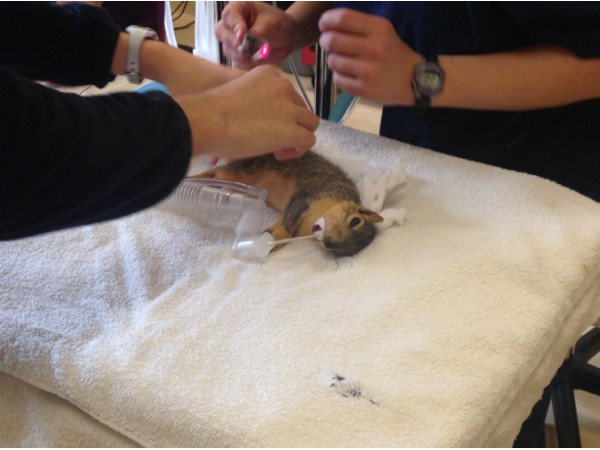 local vet rescues gets help for squirrel with glau a