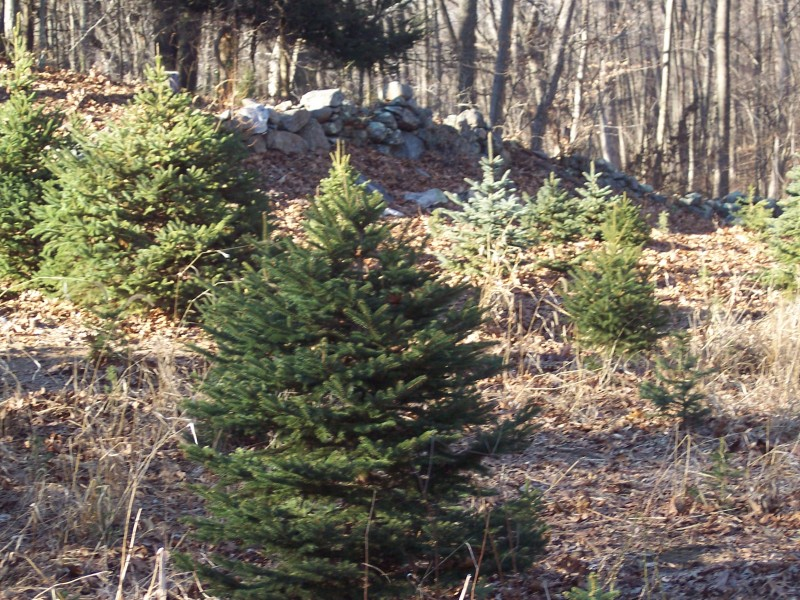 Locations To Cut Your Own Christmas Tree In Carroll County