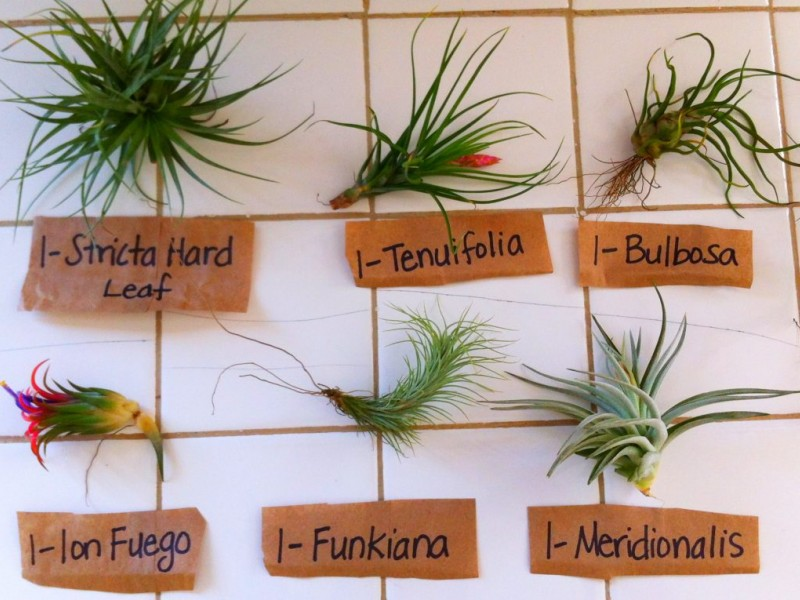 all about air plants midtown ga patch. Black Bedroom Furniture Sets. Home Design Ideas