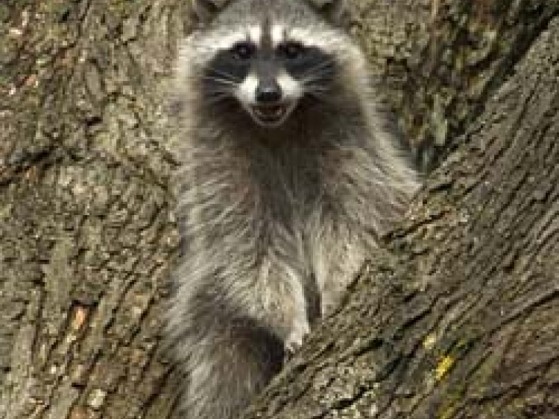 how to tell if a raccoon has rabies