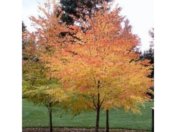 the perfect shade tree for your yard crystal lake il patch