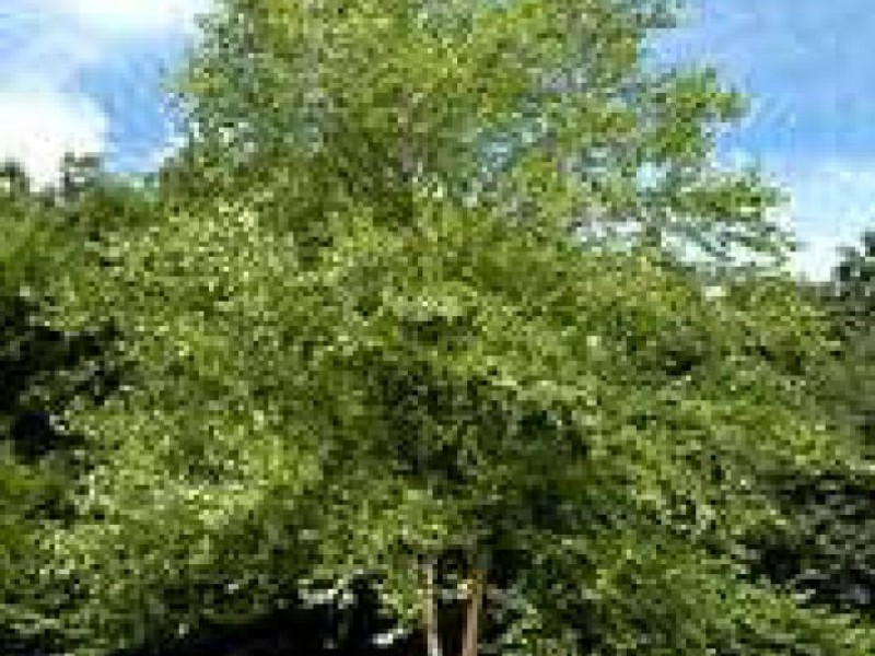 Perfect Backyard Tree : The Perfect Shade Tree for Your Yard  Crystal Lake, IL Patch