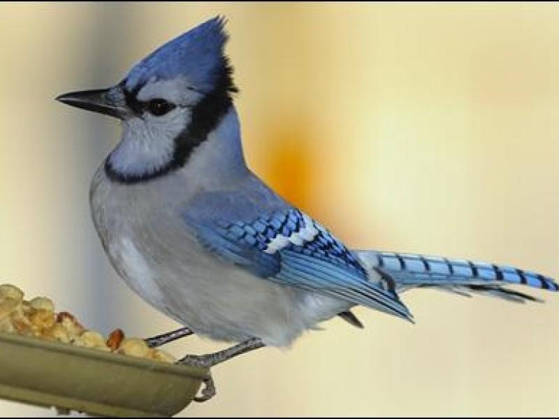 How to Feed Backyard Birds - Carlsbad, CA Patch