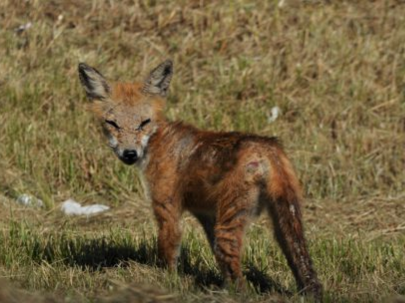 Fox Bites Dogs In Monmouth County - Manasquan, NJ Patch