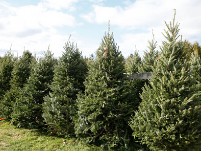 Best Places To Buy Christmas Trees In Minnesota