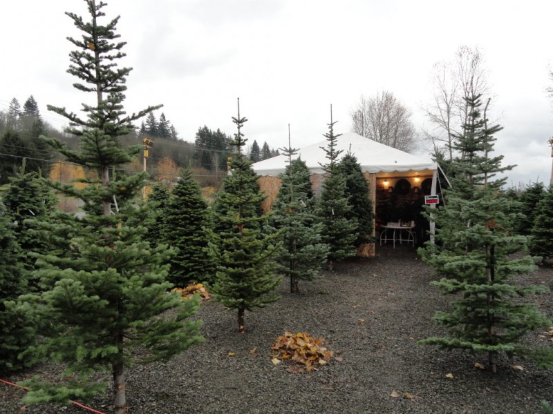 Where to Buy (or Rent) Christmas Trees (Cut, Living or...