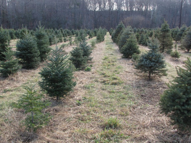 Boy Scout Christmas Tree Pick-Up