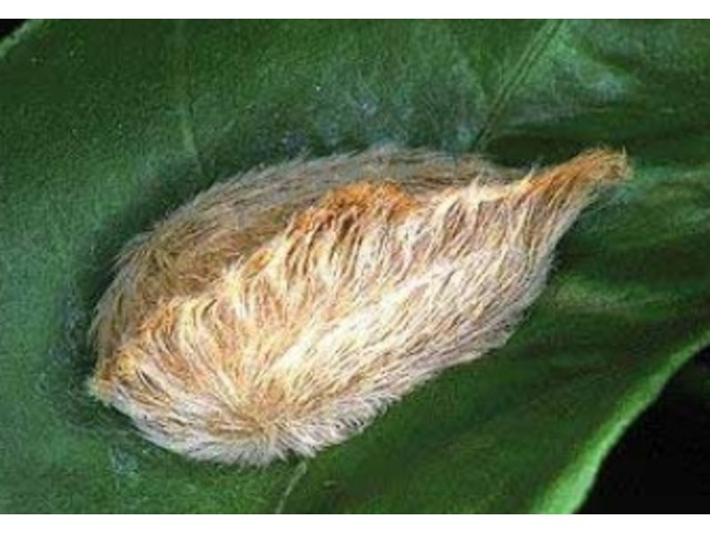 Florida S Puss Caterpillars Pack A Venomous Punch
