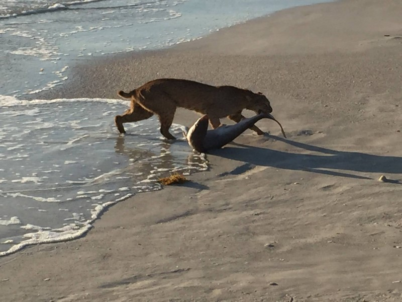 Update Bobcat Dragging Shark Onto Beach Pic No Hoax