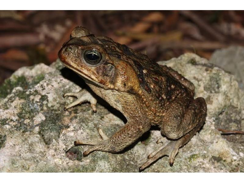 Massive Poisonous Toads Pose Springtime Threat In Florida
