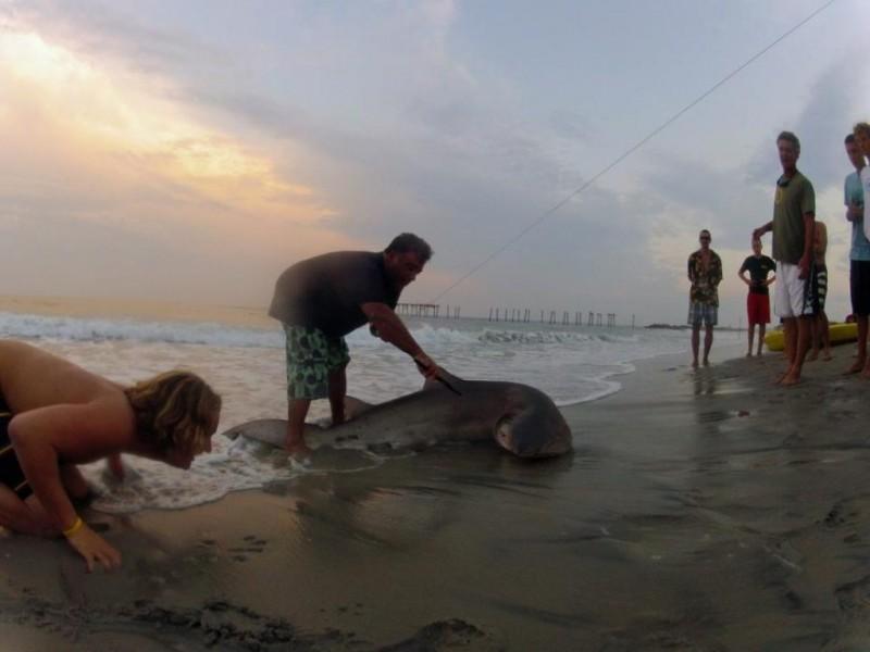 Sand tiger shark makes splash in ocean city ocean city for Shark fishing nj