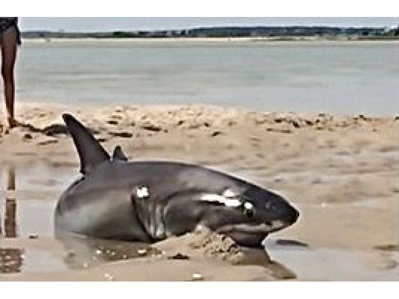 Footage Shows Daring Great White Shark Rescue On Cape Cod