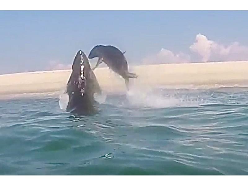 Cape Cod Summer Jobs Part - 31: Seal 1, Great White Shark 0 In Cape Cod Battle