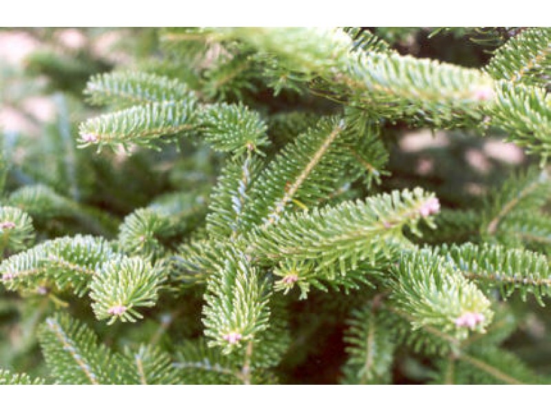 St. Vincent Ferrer Holy Name Society's Annual Christmas Tree Sale ...