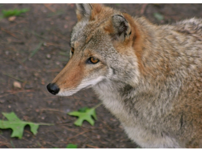 Pa. Woman Rescued From Tree After Running From Coyote ...  Pa. Woman Rescu...