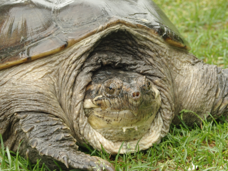 Snapping Turtle Season Sparks Safety Concerns