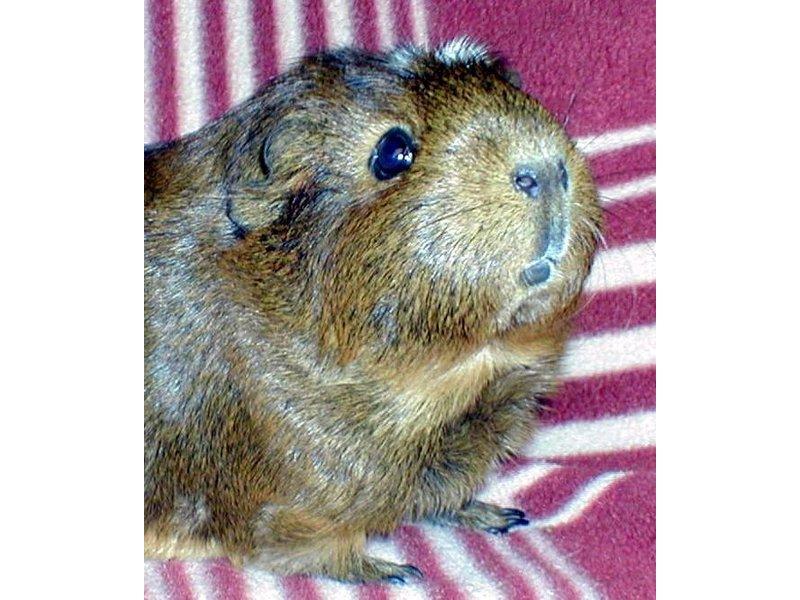 guinea pig adoption event
