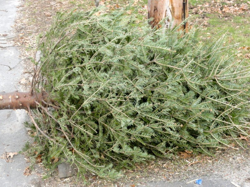Free Christmas Tree Pick Up Part - 34: How To Recycle Your Christmas Tree