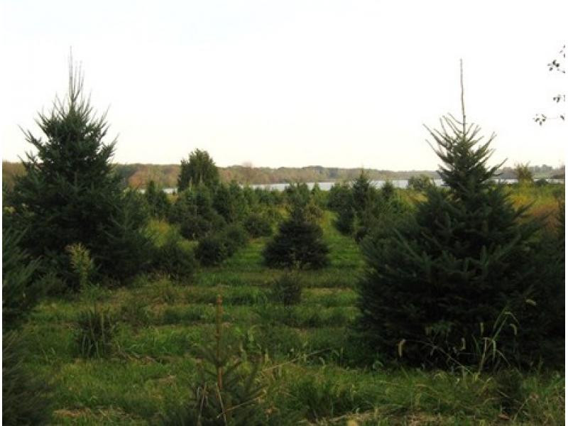 Thurstons Tree Farm Middletown RI Patch - Christmas Trees Ri