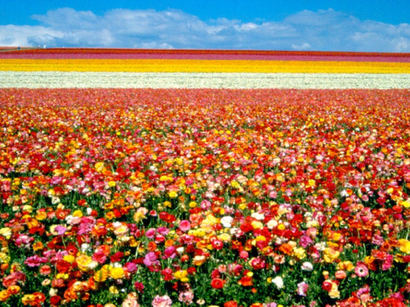 Gas Prices San Diego >> Carlsbad Flower Fields Open March 1 - Carlsbad, CA Patch