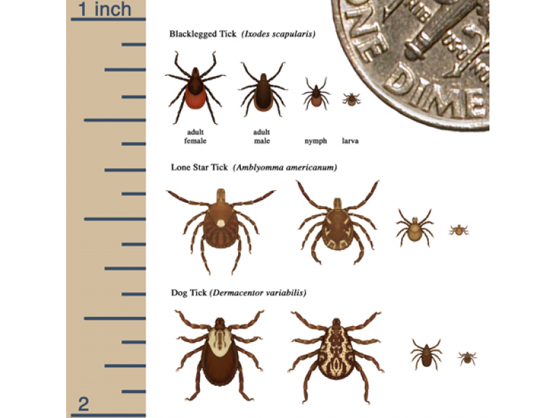 new disease increases risk of tick
