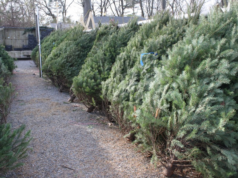Free Christmas Tree Pick Up Part - 19: How To Dispose Of Your Christmas Tree