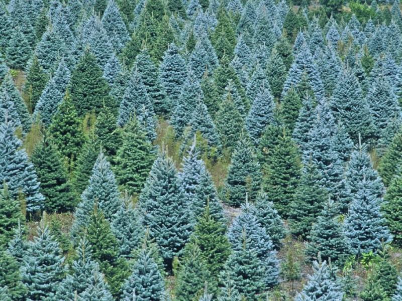 Local Christmas Tree Farms - Gig Harbor, WA Patch