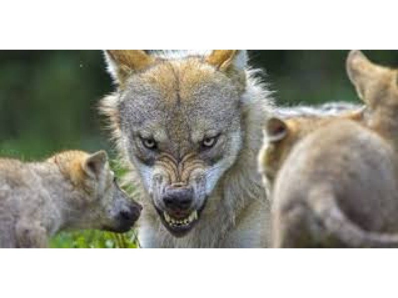 """Stone Mountain Park Stone Mountain Ga >> """"Perhaps You Think We Are 'Blowing Smoke' Concerning Urbanized Coyotes Attacking Children ..."""