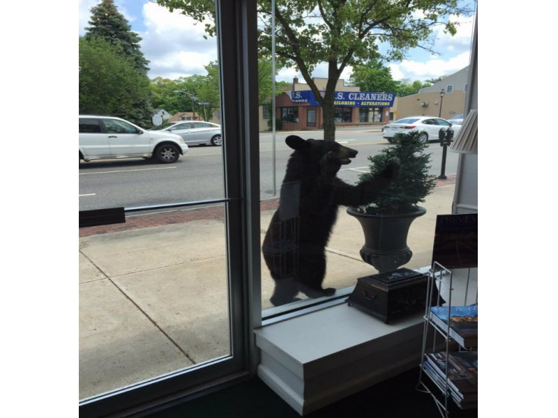 Black Bear Sightings Increase As Spring Arrives In Essex