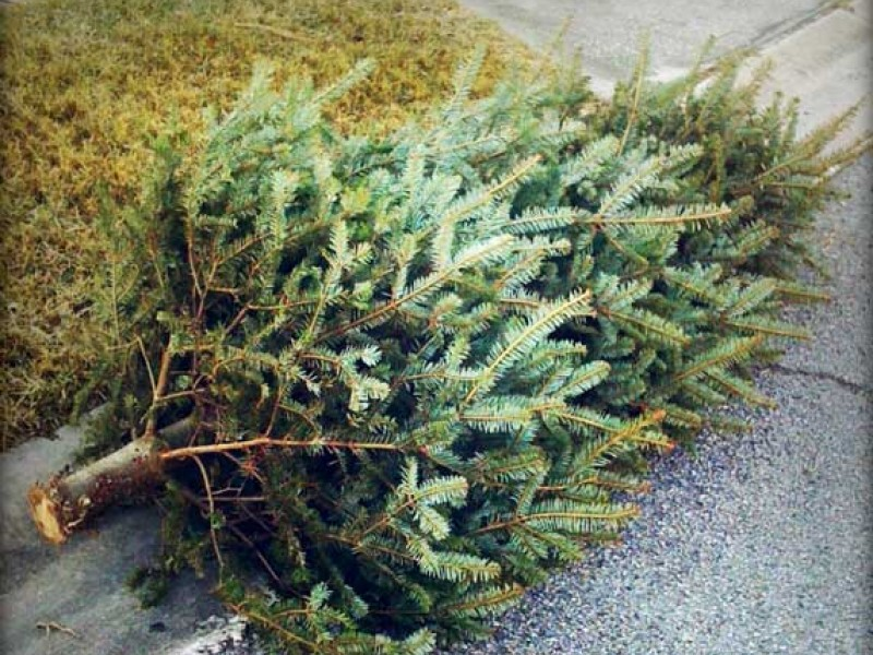 Boy Scouts Picking Up and Recycling Christmas Trees! - Ridgefield ...