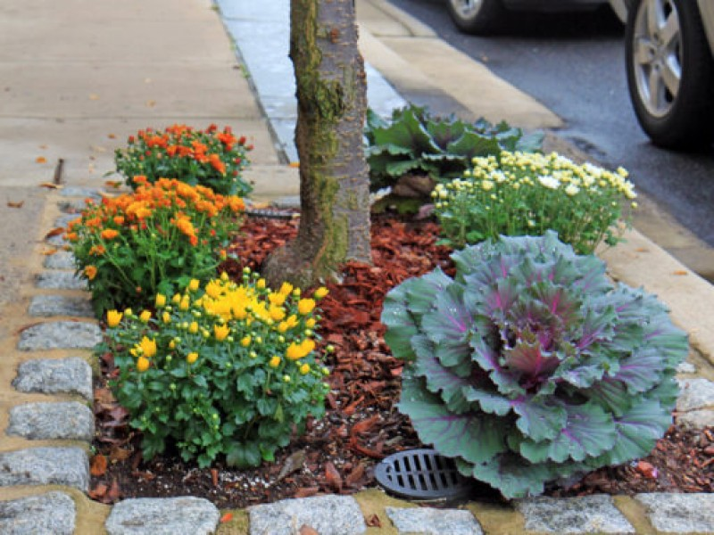 Plant Kale Mums For Fall Garden Colors Doylestown Pa Patch
