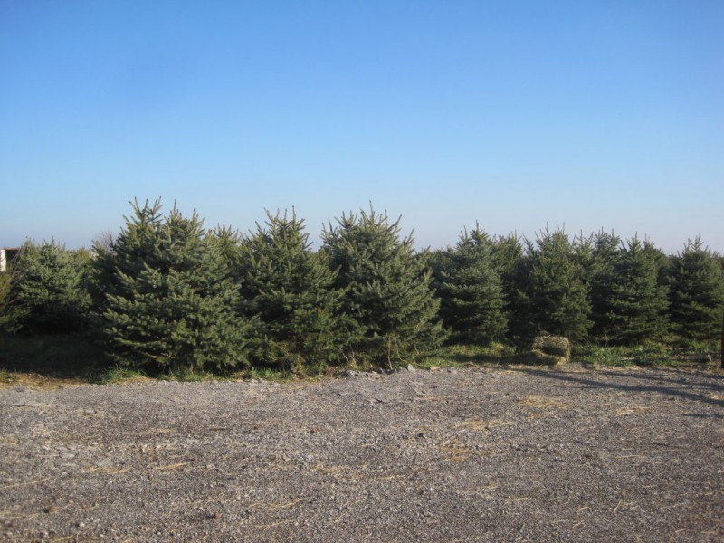 Anderson Farm's Ready for the Cut-Your-Own Christmas Tree Rush ...