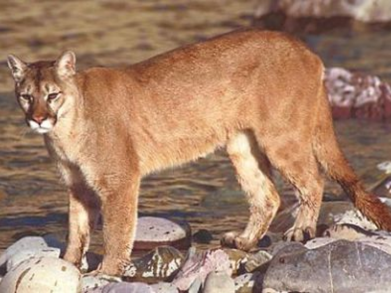 Mountain Lion Vs Bobcat Know The Difference Capitola