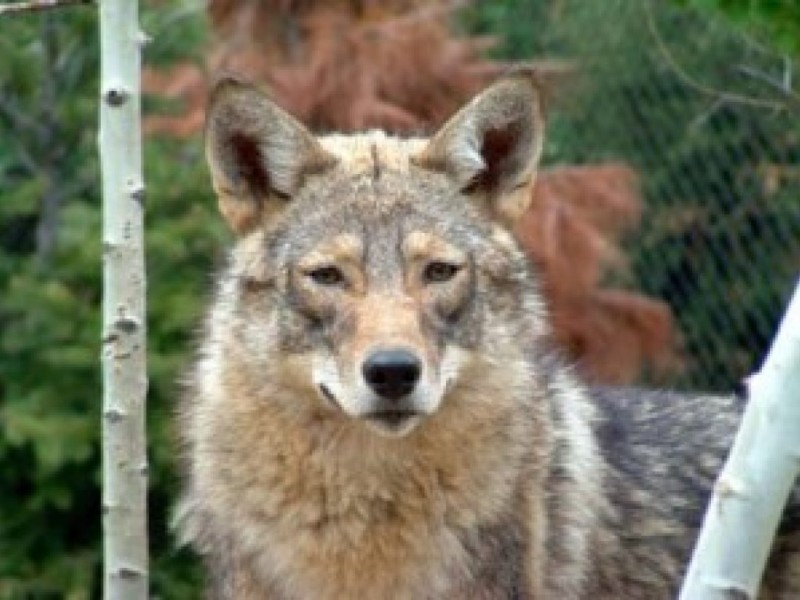 Coyotes Reported Near The Northwest Chestnut Hill Pa Patch