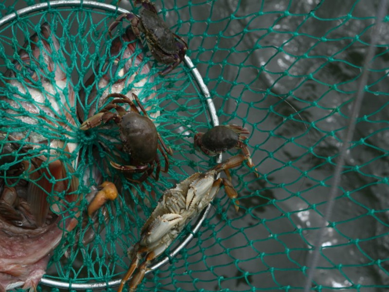 How to catch crab on the coast half moon bay ca patch for Half moon bay pier fishing