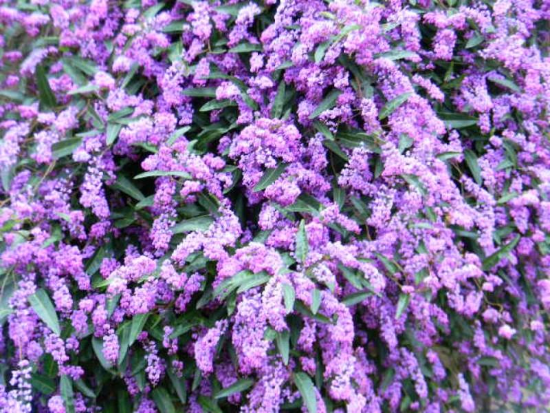 Plant Spotlight Lilac Vine Hardenbergia Violacea San