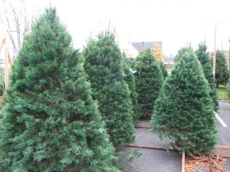 hemlock hill farm in somers to cease christmas tree sales in 2014 - Sales On Christmas Trees