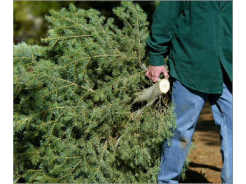 Free Christmas Tree Pick Up Part - 27: Christmas Tree Pick-Up Gets Underway This Week In Wheaton