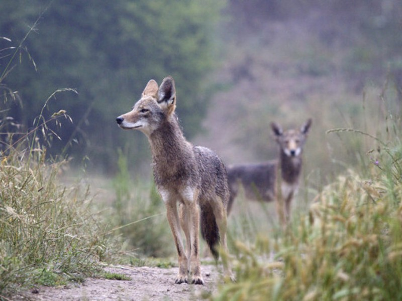 1 Interactive Map Where Are The Coyotes In Richfield