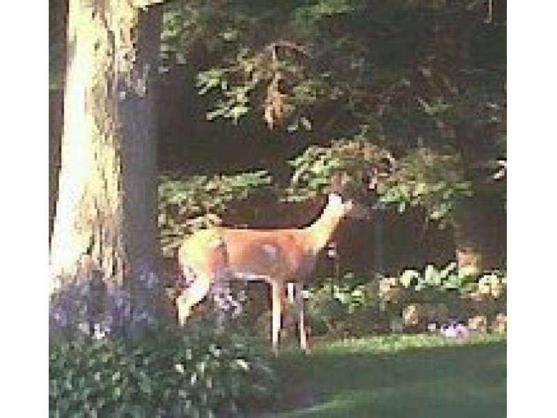 Photo Deer Sighting Bellmore Ny Patch