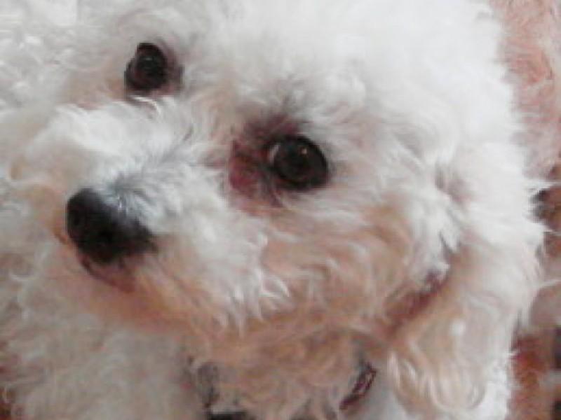 Chihuahua Poodle Need A Home Kirkwood Mo Patch