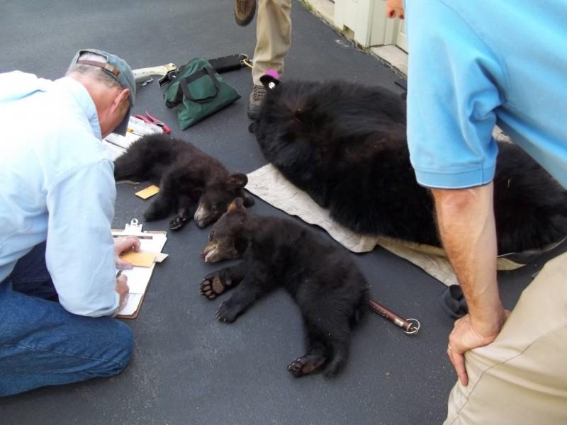 Bear Kills Dog On Stonefield Road In Avon Avon Ct Patch
