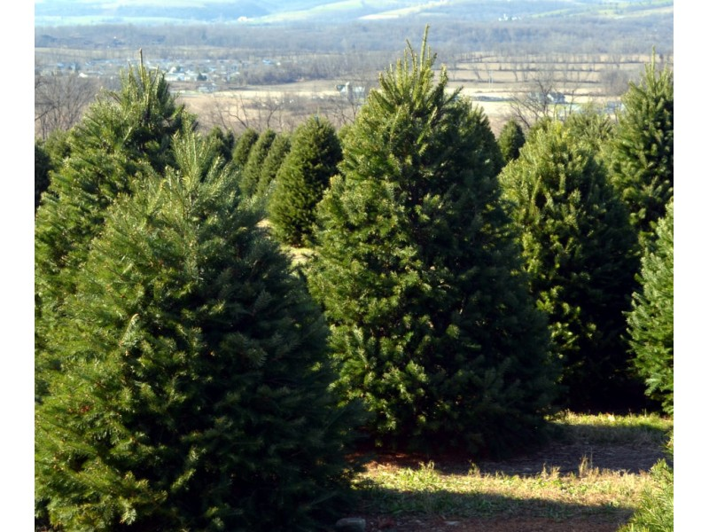 Mercedes Benz Of North Haven >> Cut Your Own Christmas Tree in Monmouth | Middletown, NJ Patch