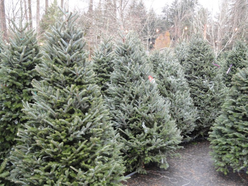 where to buy or rent christmas trees cut living or artificial - Rent A Christmas Tree