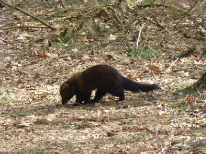 Fisher Cats Poisoned Melrose Ma Patch