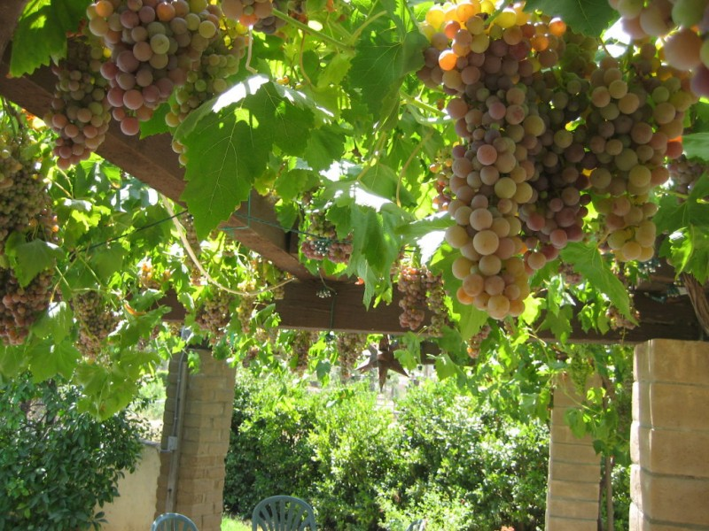 Grape Arbors Within Your Reach - Ramona, CA Patch