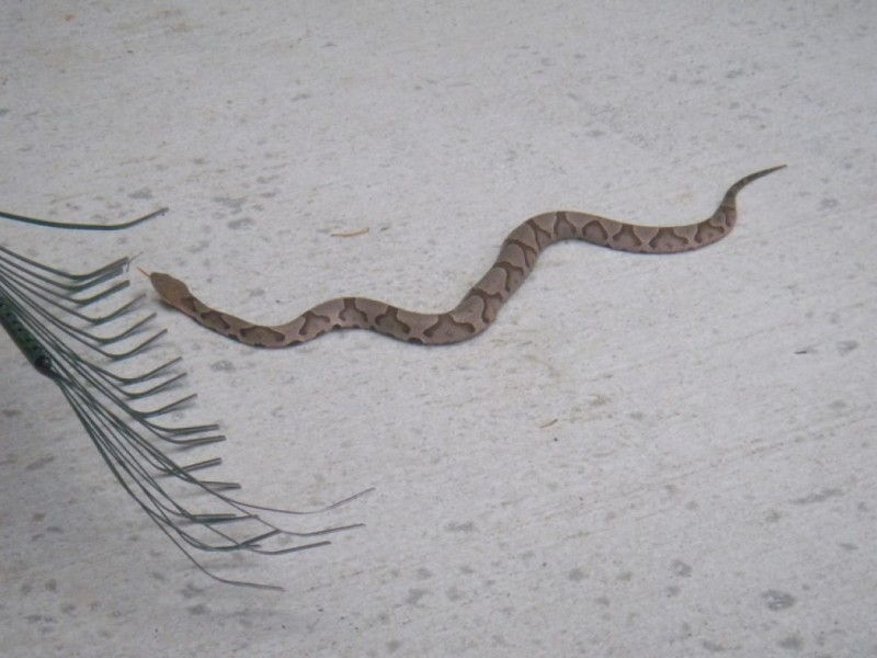 What Is a Non Venomous Snake That Looks Like a Cottonmouth
